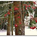 Vashon-Snow-berries-fir