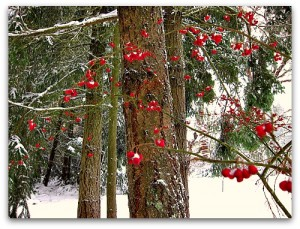 Vashon-Snow-berries-fir