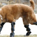 Naiko the bionic dog
