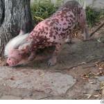 Xinxiang the Runaway Pig Dog