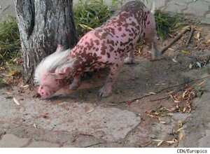 Xinxiang the Runaway Pig Dog